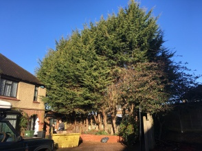 Before Conifer Removal