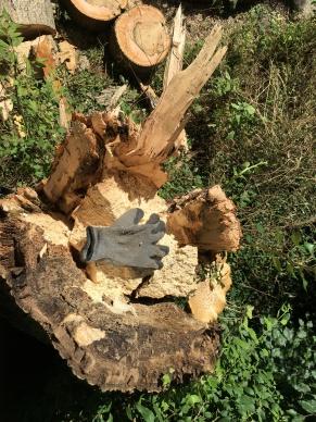 Inside Wind Blown Rotten Ash Tree